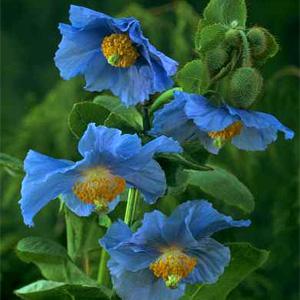 [뿌리묘]꽃양귀비-히말라야양귀비(블루)(수입종) 뿌리1개