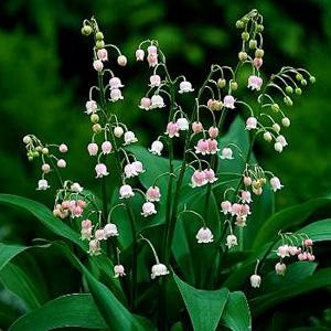 [뿌리묘]은방울꽃-로즈(수입종) 뿌리1개