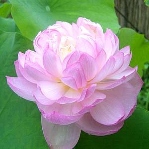 [뿌리묘]연꽃-홍잔탁주(중형) 뿌리1개