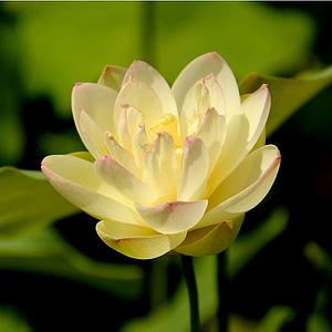 [뿌리묘]연꽃-황무비(소형) 뿌리1개