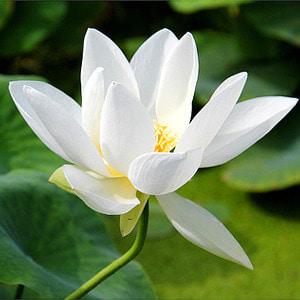 [뿌리묘]연꽃-세백완(소형) 뿌리1개